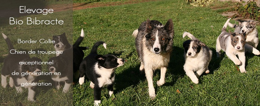 Elevage Bio Bibracte - border collie - Morvan